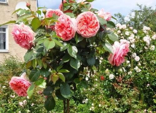 Зимовка штамбовых роз