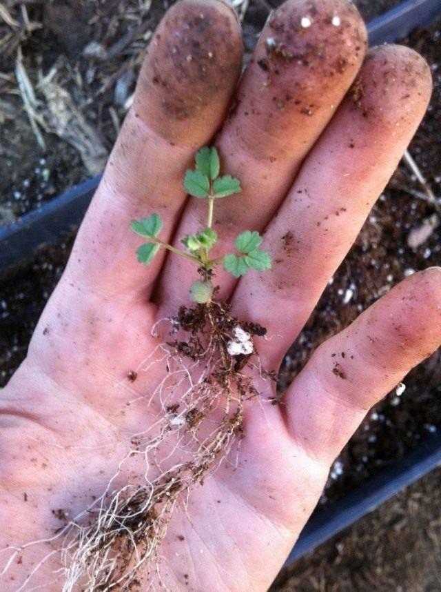Семена земляники