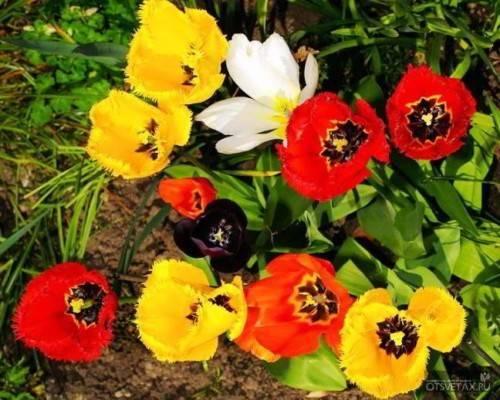 Как глубоко сажать тюльпаны