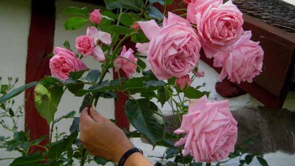 Как лучше сохранить розы в вазе