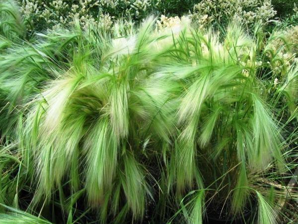 Декоративная зелень для сада