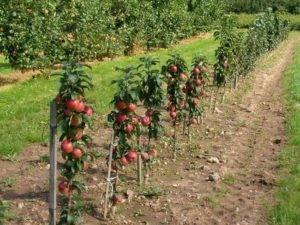 Обрезка трехлетней яблони