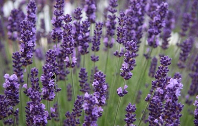 Мелкие голубые цветы названия и фото
