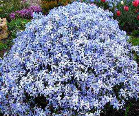 Флокс растопыренный голубой