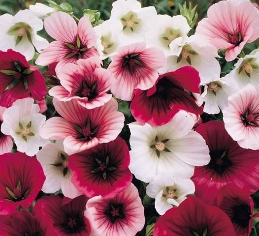 Неприхотливые цветы для клумбы цветущие все лето