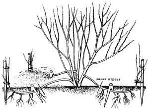 Размножение голубики зелеными черенками