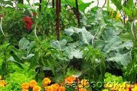 Уплотненные посадки овощей схемы