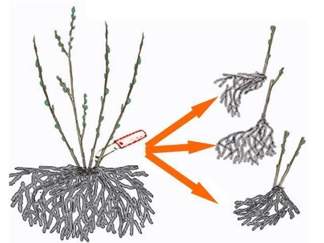 Размножение малины корневыми отпрысками способствует