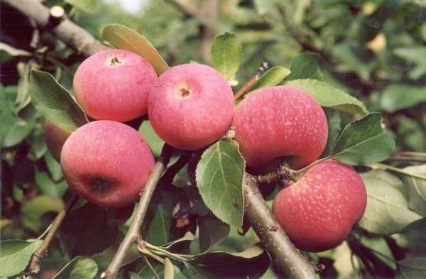 Яблоки анис фото