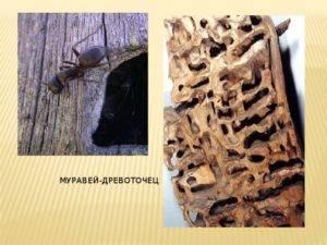 Древесные муравьи как избавиться