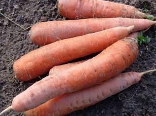 Как защитить морковь от вредителей