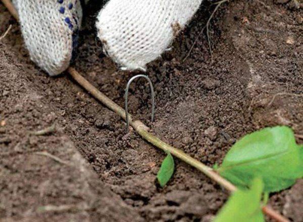 Голубика садовая размножение черенками