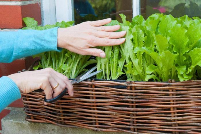 Кочанный салат посадка и уход