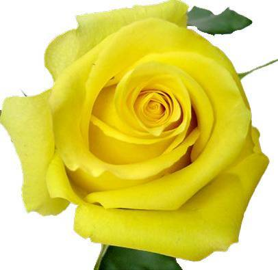 Роза тара фото