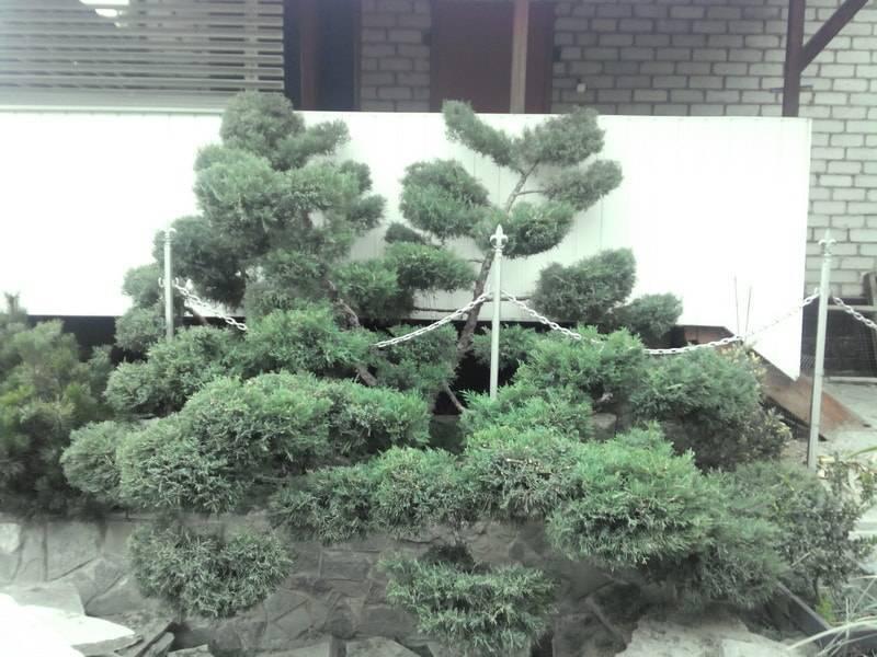 Сосновые иголки как удобрение