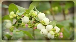 Кусты с белыми ягодами которые хлопают