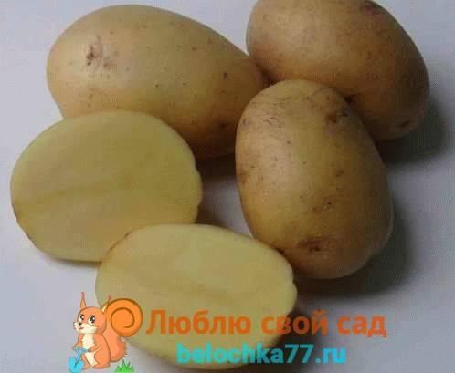 Картофель банан описание сорта фото