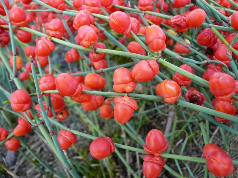 Список запрещенных растений в россии