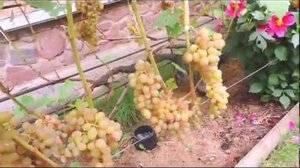 Тайсон виноград