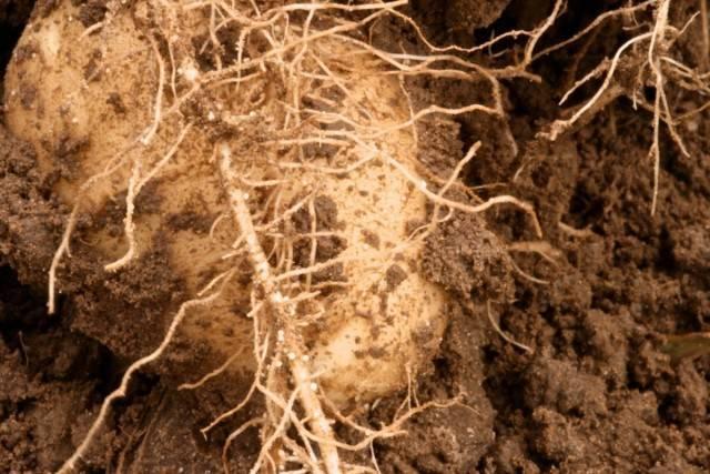 Почвенная нематода