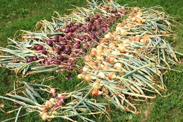 Когда собирать урожай лука