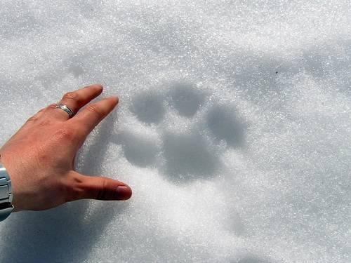 След рыси на снегу фото