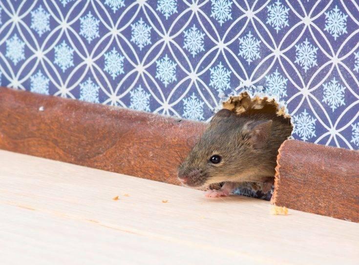 Эффективное средство от мышей в частном доме