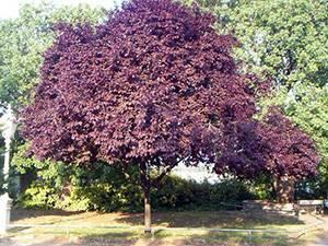 Слива кустарник или дерево