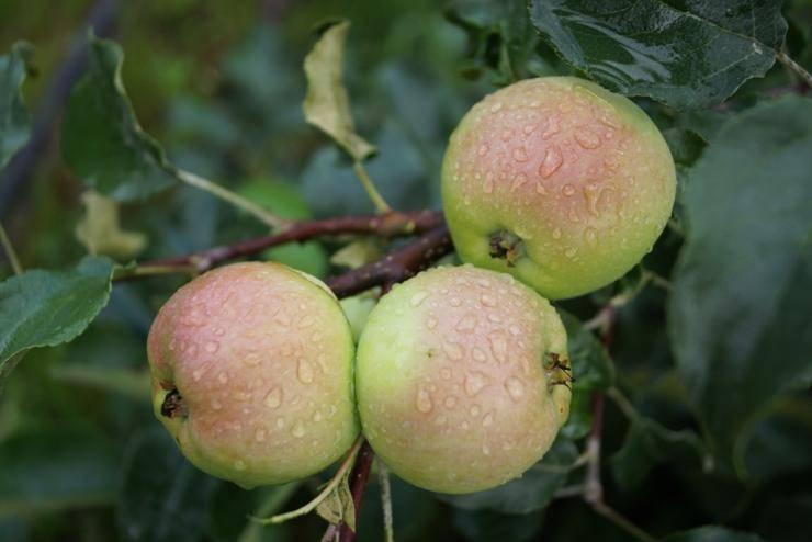 Яблони сорта с фото для урала