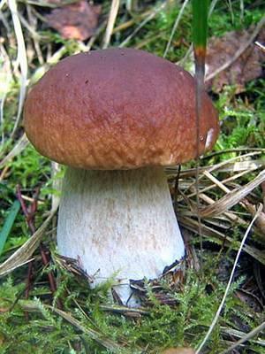 Когда растут белые грибы