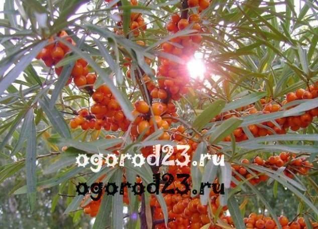 Облепиха фото ягода