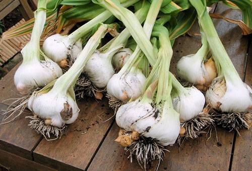 Как получить хороший урожай чеснока