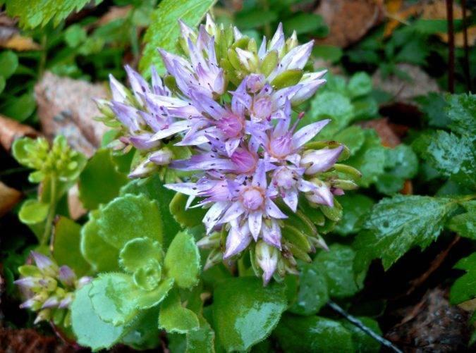 Растение очиток фото