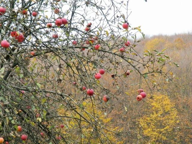 Надо ли поливать яблони осенью