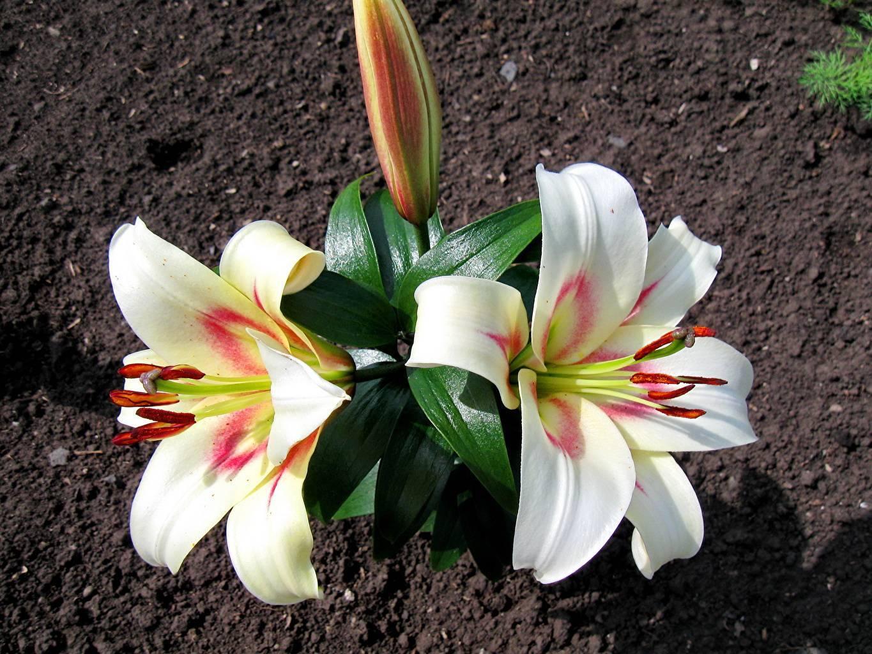 цветка лилия фото