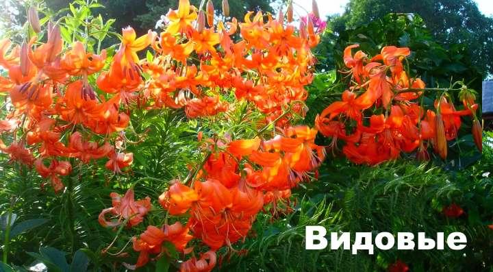 Описание цветка лилии