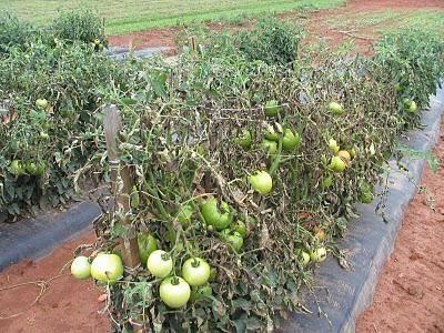 Фитофтороз томатов фото