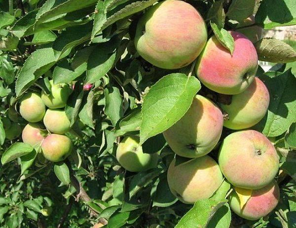 Сорти яблук в україні фото