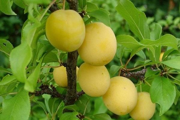 Алыча персиковая описание и фото
