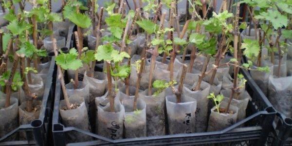Виноград черенки хранение