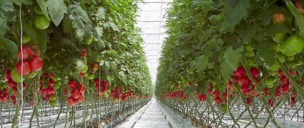 Какой сорт помидоров самый урожайный для теплицы