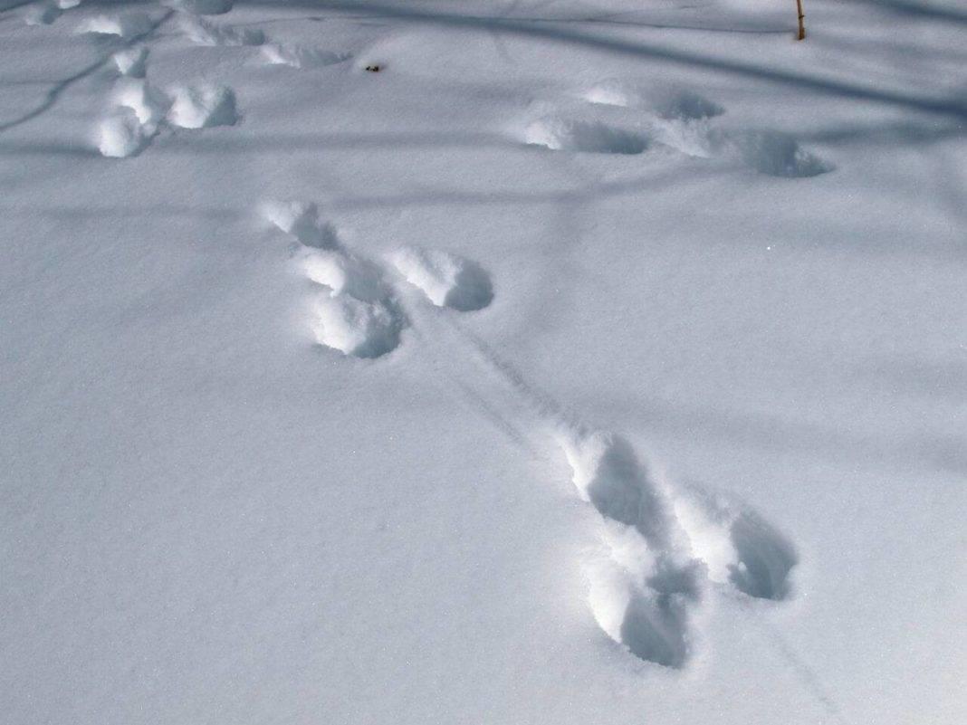 След зайца на снегу 5 букв