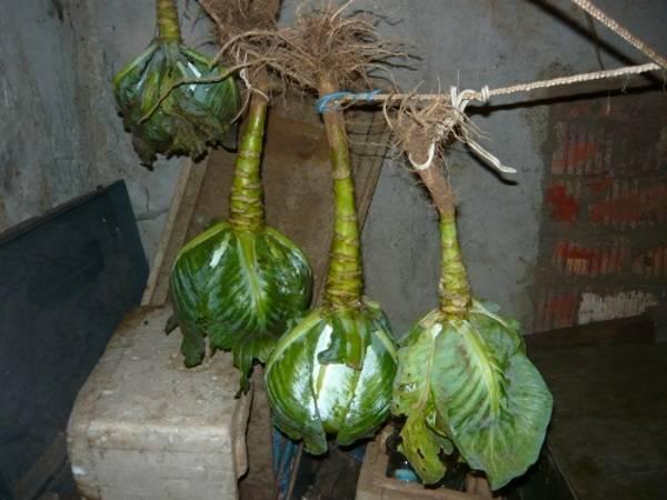 Хранение капусты в погребе на зиму