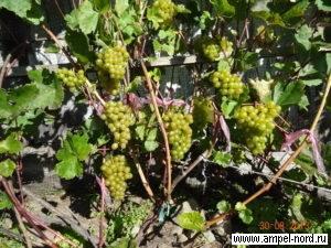 На сколько почек обрезать виноград по сортам