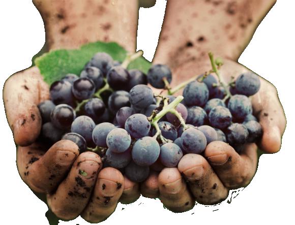 Осенние работы на винограднике