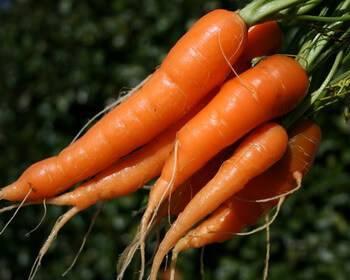 Морковка овощ