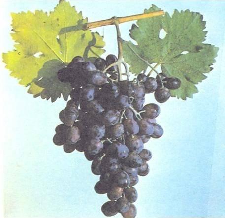Столовый виноград сорта фото