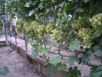 Формировка винограда кордон
