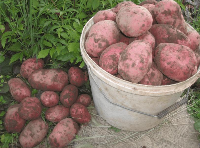 Сорта картофеля с розовой кожурой