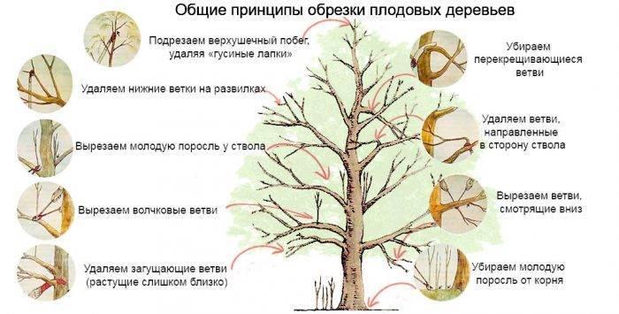Обрезка плодовых деревьев и кустарников осенью